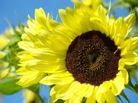 Holiday Christmas Gifts SUNFLOWER Art Baslee