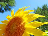SUNFLOWERS Holiday Art Gifts Sun Flower Baslee