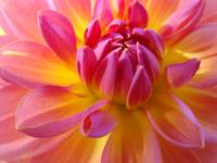 Christmas Dahlia Art Gifts Holidays Flowers