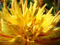 CHRISTMAS ART GIFTS Yellow Dahlia Flower