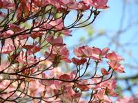 CHRISTMAS TREES Gifts Pink Dogwood Flowers