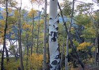 Autumn Aspens surrounding Mountain Lake