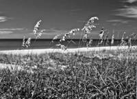 Sea Oats Painting in BW II