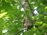 screech owl parent watching