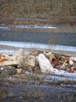 snowy owl amidst rubble