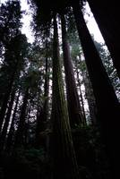 Redwoods in Muir Woods, CA