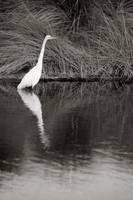 Great White Egret, Bird in Water