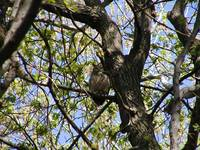 great horned owl at tree edge