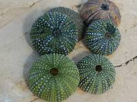 Adriatic sea urchins