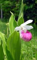 Showy Lady's Slipper (Cypripedium reginae)