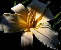 Daylily Light & Shadow