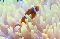Clown Fish, Indian Ocean, South Africa