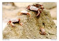 Crab Family Outing