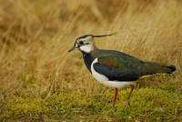 Green Plover