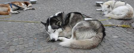 DOGSLED_TIRED