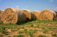 Round hay bales drying in the sun
