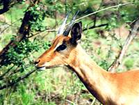 Young Male Impala Profile