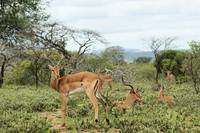 Bachelor Herd of Impala