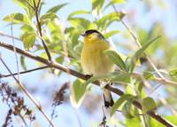 Goldfinch in Spring Tree by Carol Groenen