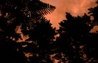 Bush Turned Sepia With Sunset, Punakaiki, NZ Flick