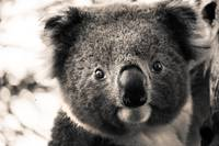 Portrait of Koala