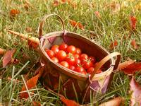 Basket of Cherry Tomatoes in Autumn