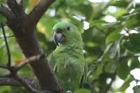 Green Parrot in Tree in Costa Rica