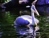 Pink-Backed Pelican 1