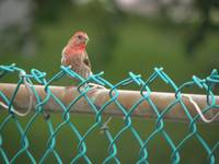 house finch 3