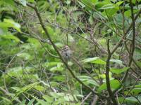 song sparrow proud