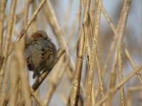 sparrow in reeds