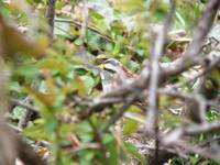 white throated sparrow hiding