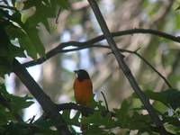baltimore oriole with morsel
