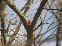 cardinal sings in tree crotch