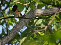 eastern towhee front