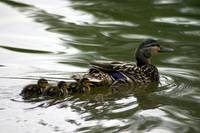 Momma Duck with Ducklings