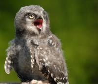 Northern Hawk Owl Chick