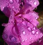 Lavender and Rain Drops