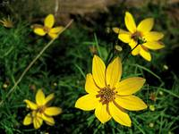 Yellow Asteracea family members