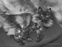 Smoky Black & Silver Cat