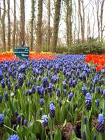 Color Path - Keukenhof Garden, The Nederlands