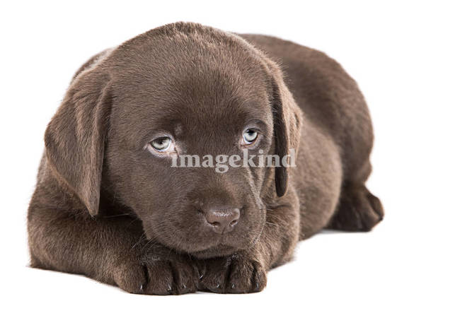 cute yellow labrador puppy. Cute Chocolate Labrador Puppy