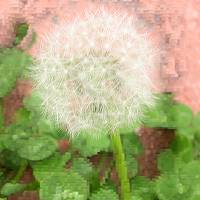White Dandelion on Pink Background