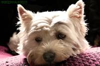 West Highland Terrier - Poppy
