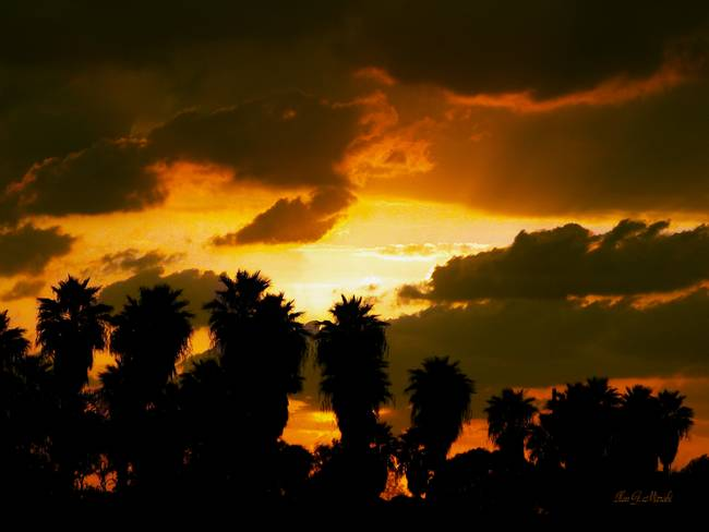 Palm Tree Sunset - A dramatic palm tree sunset