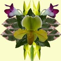 Flower Mandal Orchids