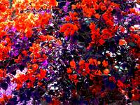 The Bougainvillea Poster