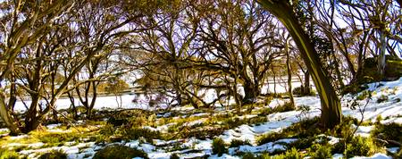Gum Trees In The Snow 06 -NSW