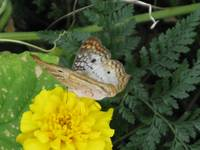 blue brown butterfly