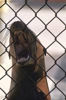 Sea Lion at Marine Mammal Rescue Center, Marin